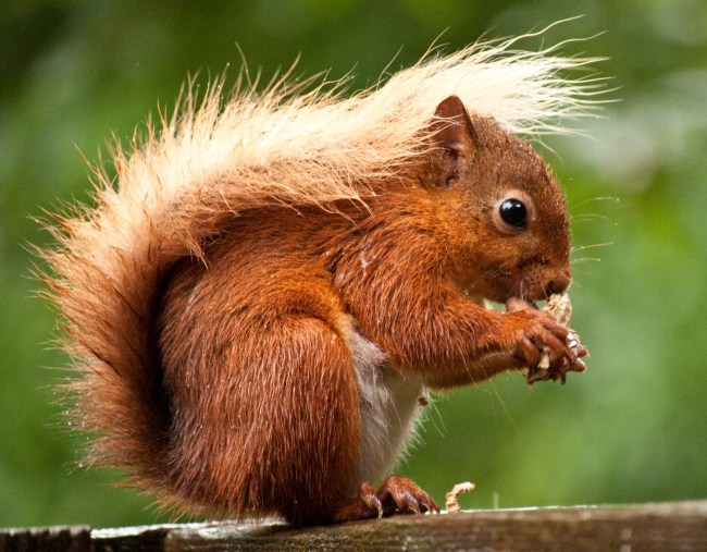 If I were a red squirrel, yubby dibby dibby dibby dibby dibby dibby dum