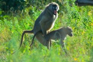 baboon-sex